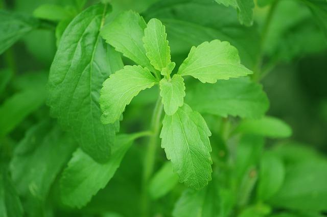 rostlina stévie